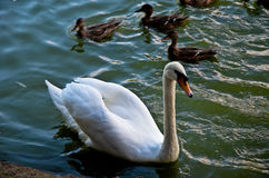 White swan swimming gently in still lake water. Ingreen light Royalty Free Stock Image