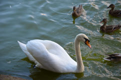 White swan swimming gently in still lake water. Ingreen light Stock Photos