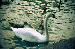 White swan swimming gently in still lake water. Ingreen light Stock Images