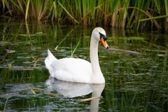 White Swan swimming in a green canal royalty free stock image