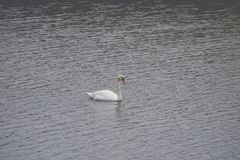 A white swan is swimming on the lake stock photo