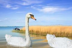 White swan swimming in lake Royalty Free Stock Photography