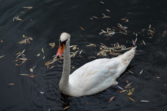 White swan. A white swan swimming in a lake Stock Photography