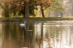 White swan swimming in lake in autumn Stock Photo