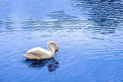 White swan. Swimming in a lake. Bird in a pond stock photos