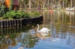 White swan swimming on the lake of the colorful city park. White swan swimming on the lake on the background of the colorful city park stock images