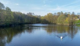 A white swan swimming in a lake at Frogner park, Oslo stock photo
