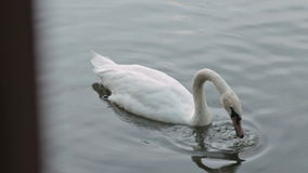White swan swimming in lake. HD stock video footage
