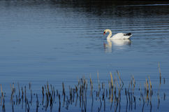 White swan swimming in lake Royalty Free Stock Photo