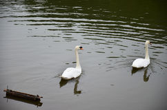White Swan swimming at lake of reservoir in Pang Ung Royalty Free Stock Photo