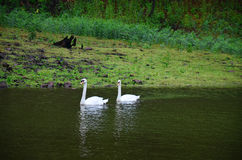 White Swan swimming at lake of reservoir in Pang Ung Royalty Free Stock Photography