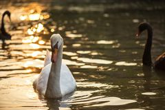 White swan swimming on lake at sunset. White swan swimming on the lake during sunset with bokeh sunlight reflection on water. Portait of wildlife animal in royalty free stock image