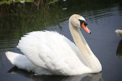 White swan swimming in a lake in waddinxveen in the Netherlands.  stock photo