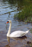 White swan swimming in the lake water Stock Photos