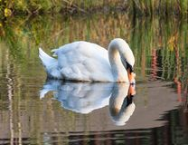 Swan swims along the lake in the wild. White swan swimming on the lake in the wild Royalty Free Stock Photo