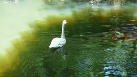White swan swimming in old pool and looking around. Big bird on the green water with tree reflections. Sunny summer day stock video footage