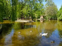 A white swan swimming in the peaceful pond or lake with ducks around it. stock photography