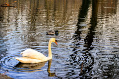 A white swan swimming peacefully in a lake Royalty Free Stock Image