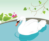 White swan swimming in a pond Stock Image