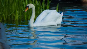 White swan stock footage