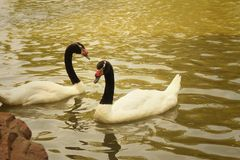 A white swan swimming in the pond. Royalty Free Stock Photo