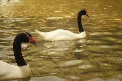 A white swan swimming in the pond. Stock Photo