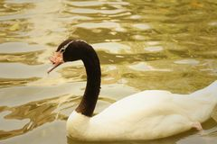 A white swan swimming in the pond. Royalty Free Stock Image