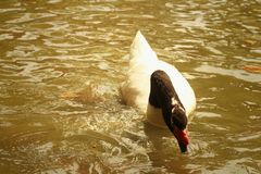 A white swan swimming in the pond. Royalty Free Stock Photography