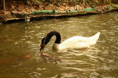 A white swan swimming in the pond. Royalty Free Stock Images