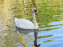 White Swan swimming. A white swan swimming in a pond Stock Images