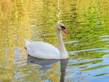 White Swan Swimming in pond Stock Photo