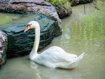 White swan swimming on the pond. In the park stock images