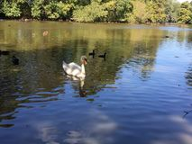 White swan in pond. White swan swimming in the pond on romantic morning Royalty Free Stock Photography