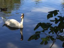 White swan in pond. White swan swimming in the pond on romantic morning Royalty Free Stock Photo