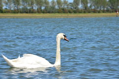 White swan swimming on a river Stock Image