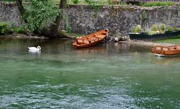 White swan swimming in river Adda waters near Lecco. Royalty Free Stock Photography