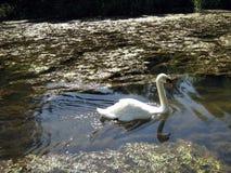 White swan swimming in River Avon, Malmesbury, England Royalty Free Stock Photography