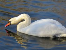 White Swan swimming on the river close-up stock photo