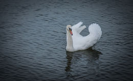 White Swan. A white swan swimming on the river Danube Stock Photos