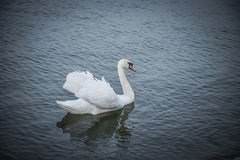 White Swan. A white swan swimming on the river Danube Stock Photography