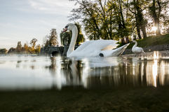 White swan. Swimming on the river Korana in Karlovac. See the other swan standing on the bank of the river. You can see the bottom of the river because the Stock Photo