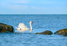 White swan swimming in the sea Royalty Free Stock Photography
