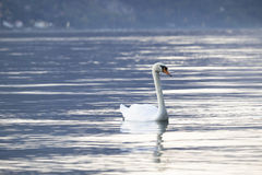 White swan swimming  Royalty Free Stock Photography