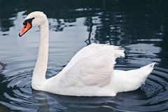 White swan. Swimming in Timisoara Zoo Stock Images