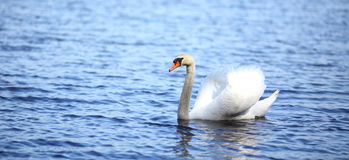 White swan swimming on water Royalty Free Stock Photography