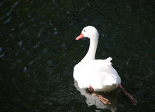 White swan swimming in the water. Stock Photos