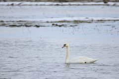 Swan swimming in water. A white swan swimming in water, Europe, Scandinavia, Denmark, Ær royalty free stock images