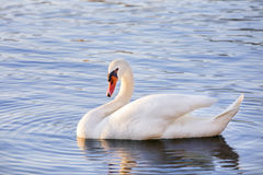 White Swan. A white swan swimming in the water, in its stately pose Stock Photos
