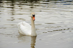 White Swan swimming on water Stock Image
