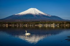 White Swan swimming on Yamanaka lake with Mount Fuji or Fujisan in morning, Yamanashi. Japan royalty free stock photos